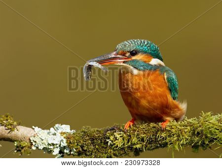 Close Up Of A Kingfisher With A Fish Perching On A Mossy Perch, England