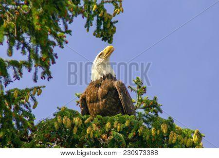Wild Bald Eagle In A Tree In Sitka, Alaska