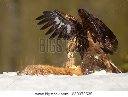Golden Eagle Feeding On A Red Fox High In The Mountains In Norway.