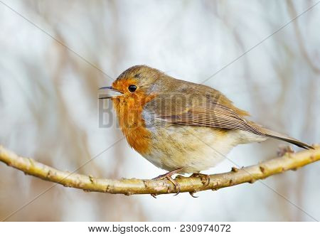Close Up Of European Robin Singing While Perching On A Tree Branch, Uk.