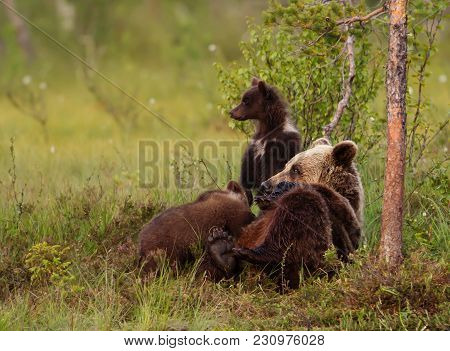 Close Up Of Eurasian Brown Bear Female Suckling Her Cubs, Finland.