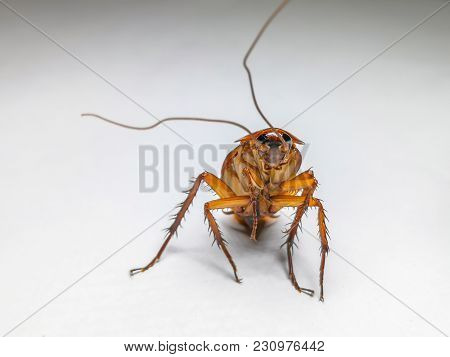 Cockroach Isolated In White Background. Cockroach Die Isolated