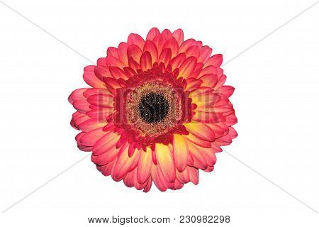 Pink With Yellow Head Of Gerbera Flower Or Transvaal Daisy Close Up, Isolated On A White Background