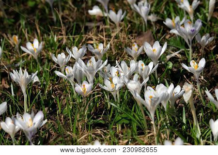 Meadow full of crocus in early spring