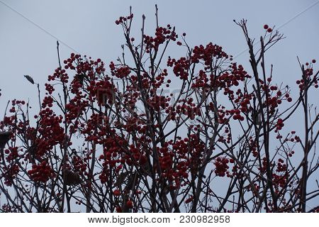 Branches Of Whitebeam With Red Berries Against The Sky