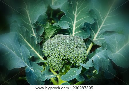 Broccoli Plant - Brassica Oleracea - Growing In Garden Before Harvest