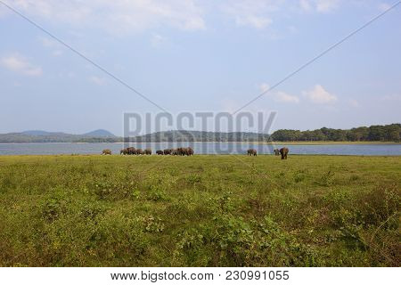 Sri Lankan Wild Elephants At Minnerya National Park By A Lake Surrounded By Hills Woodland And Open