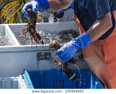 A Lobster Fisherman Is Sorting Live Maine Lobsters In To Differnet Bins By Size To Sell Them At The