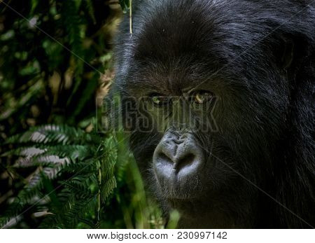 Portrait Of Mountain Gorilla Taken In The Mountain Slopes In Volcanoes National Park, Rwanda