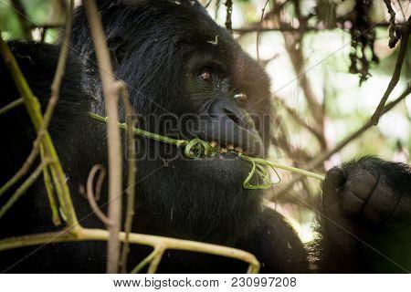Mountain Gorilla Feeding In The Mountain Slopes In Volcanoes National Park, Rwanda