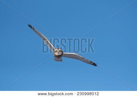 Short-eared Owl In Flight With Blue Sky In Winter