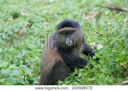 Portrait Of A Golden Monkey In Volcanoes National Park, Rwanda