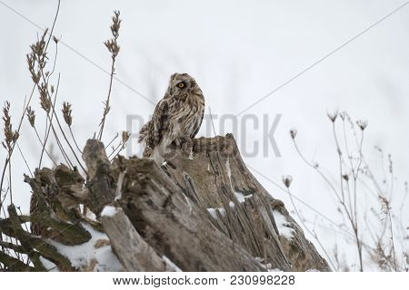 Short Eared Owl Perched On Ground