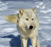 Alpha female of wolf pack. Northern Minnesota poster