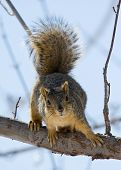 Fuzzy Squirrel perched on branch ready to leap poster