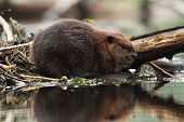 North American Beaver (Castor canadensis) with Reflection in Water poster