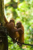 Cute baby orangutans play on a rope at the Sepilok Orangutan Rehabilitation Sanctuary in Borneo. Vertical poster