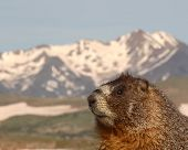 A Yellow-bellied Marmot against a striking Rocky Mountain background in Colorado. poster