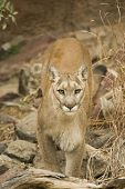 mountain lion stares out at the camera looking fierce poster
