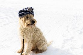 A Cute Irish Wheaten Softcoated  Terrier In A White Winter Day Whit A Hat