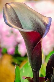 So Elegant Vibrant Purple Calla Lilies Flower With Green Leaves And Pink Blur Background That Makes