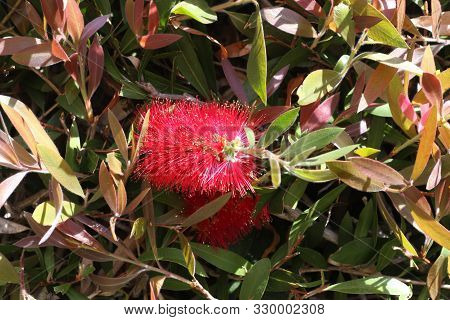 This Is An Image Of A Red Bottle Brush Flower Growing In Carmel, California.