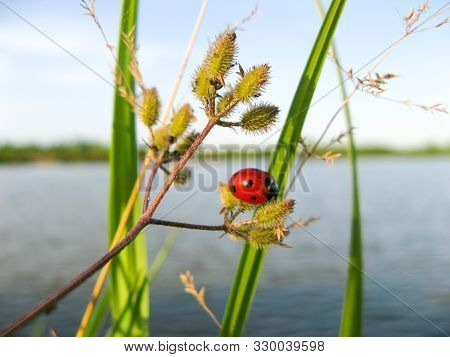 Ladybug Or Ladybird Insect In Nature. Nature Insect Ladybug On Grass Stem With Blurred Background. C