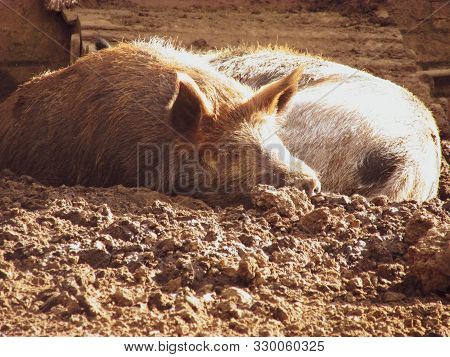 Two Adult Pigs Resting In Mud Next To Each Other Under The Warmth Of Autumn Sun. Taken Off The Count