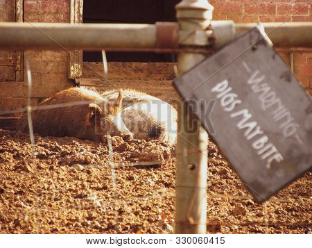 A warning sign at the pig enclosure with two adult pigs resting in mud next to each other. Taken off the countryside road of Sherbrooke, Victoria, Australia. Selective focus on the pigs poster