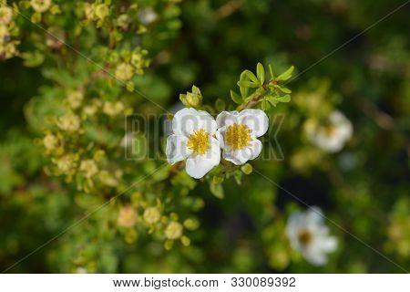 White Shrubby Cinquefoil Flower - Latin Name - Potentilla Fruticosa