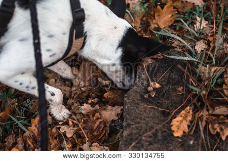 Basenji dog sniffs in the leaves, atmospheric photo poster