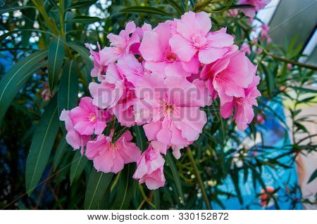 Lush Clusters Of Pink Oleander Flowers. Horizontal Photo.