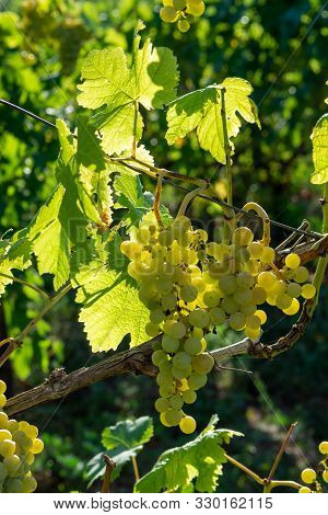 Vineyard With Growing White Wine Grapes In Lazio, Italy