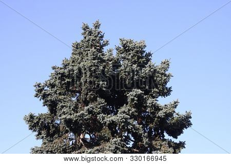 This Is An Image Of A Tall Blue Spruce Tree And Blue Sky In Carmel, California.