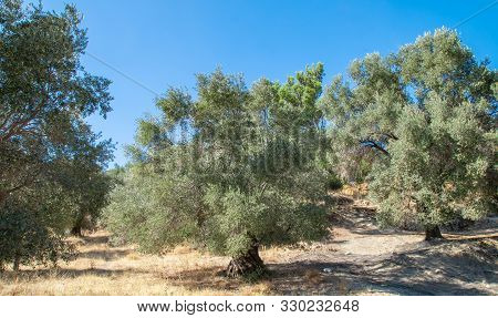 Olive Tree On The Hill. Olive Plantation In The Background. Landscape With Olives Trees. Industrial