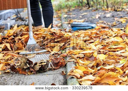 Yellow, Orange, Fallen Cherry Leaves In Autumn In The Autumn Garden Are Raked With A Metal Rake From