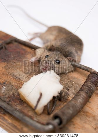 Mouse In A Mousetrap. Dead Mouse In A Mousetrap Next To The Bait. Isolated