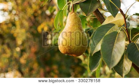 Beautiful Fresh Ripe Juicy Pears Hang On A Tree Branch In The Orchard For Food Or Pear Juice. Organi