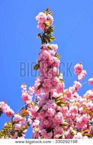 Cherry Blossom. Beautiful Garden Flowers. Sacura Cherry-tree. Daisy Flower, Flowering Daisy Flowers