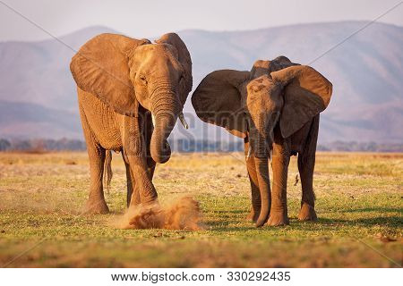 African Bush Elephant - Loxodonta Africana Pair Two Elephants On The Zambezi Riverside, Mana Pools I