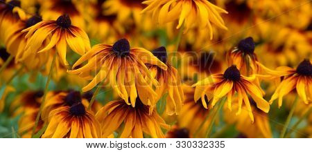 Rudbeckia Hirta, Black-eyed Susan Rudbeckia Hirta Yellow Flower.
