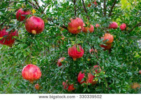 Fresh Pomegranates Hanging On Tree  At Autumn