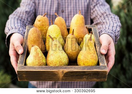 Fresh Pears In Male Hands. Juicy Flavorful Pears In Box, Basket. Organic Fruit For Food Or Pear Juic