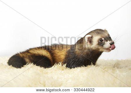 Classic Polecat Color Ferret Posing For Portrait In Studio