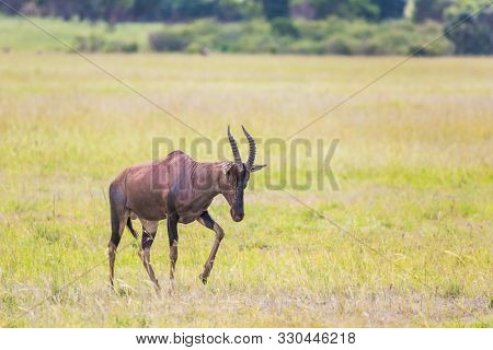 Beautiful herbivore - Antelope Roan in the grassy savannah. The famous Masai Mara Reserve in Kenya. Africa. The concept of ecological, exotic and photo tourism