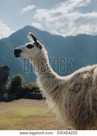 Cultura Y Tradición Peruana / Las Llamas Del Perú