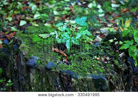 Close up of green moss on a tree stump with blurred forest on the background, summer nature concept. Stock footage. An old tree stub covered with moss. poster