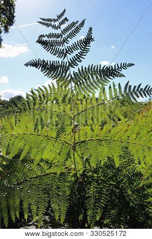 Bracken, Pteridium Aquilinum, Frond In The Foreground Rising Above Other Fronds And A Blue Sky With