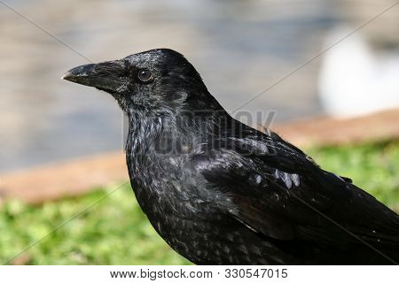 A Close Up Of A Glossy Adult Carrion Crow