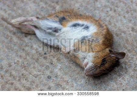 Dead Mouse On Cement Floor In The House. Fight With Rats In The Apartment. Extermination Concept.